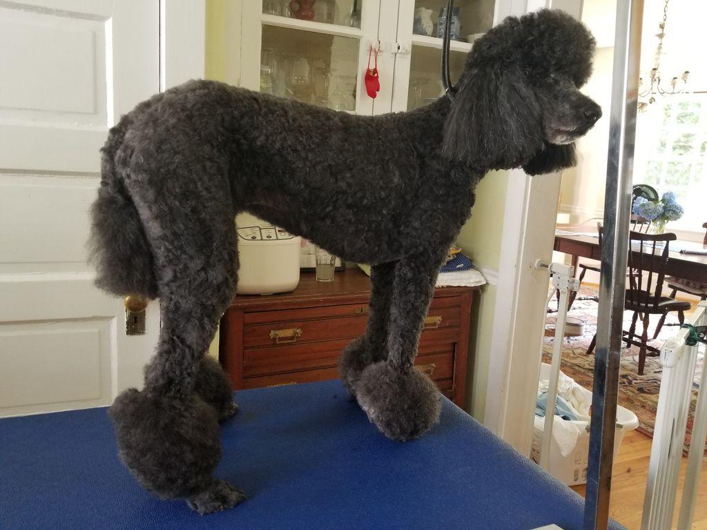 Poodle Hair-cut