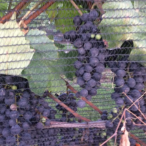 Protecting my grapes from Japanese beetles.