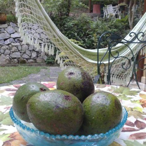Brazilian lifestyle - Avocados and a hammock