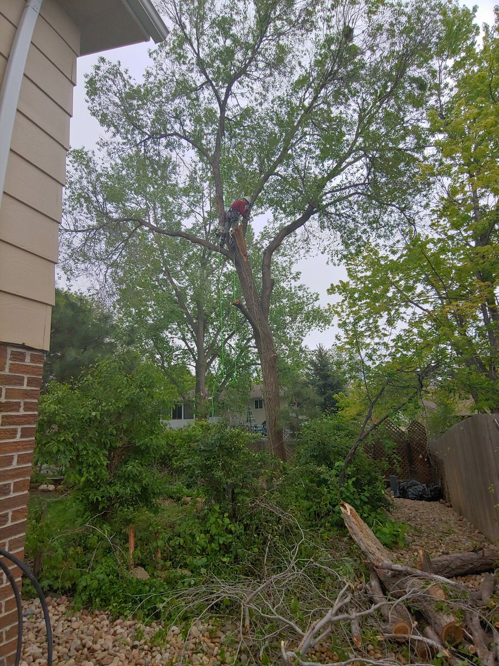 Large elm tree removal with large hanging broken limb