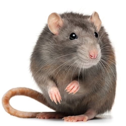 Rats & Mice Cause MIllions of Dollars in Damage Each Year