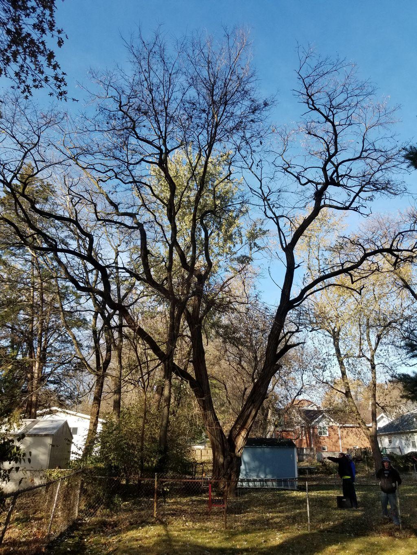 Big nasty split locust tree