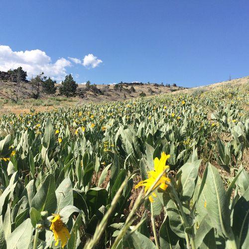 Wild-harvesting Arnica in California
