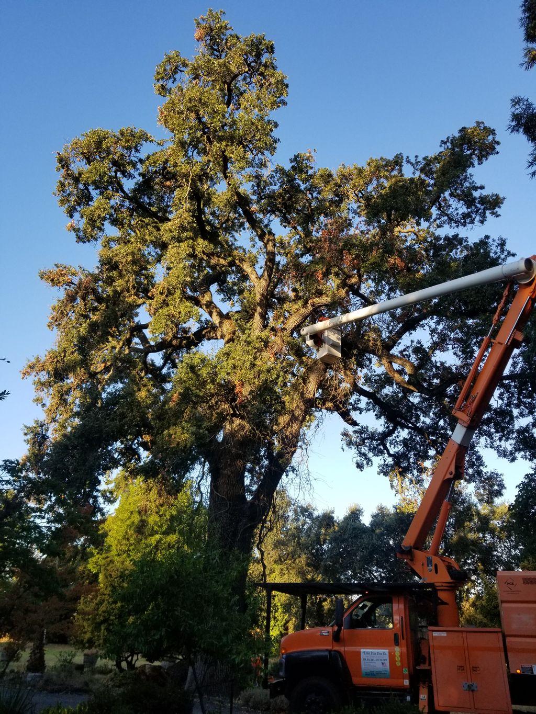 Historical oak tree trimming