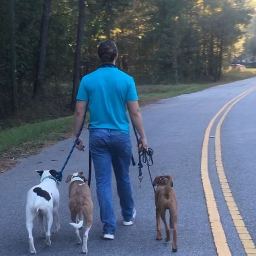 Chase walking 3 dogs
