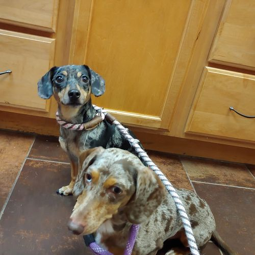 Willow and Dobby working on Heeling on a leash