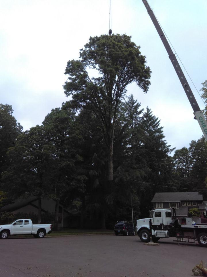 150' Oak removal