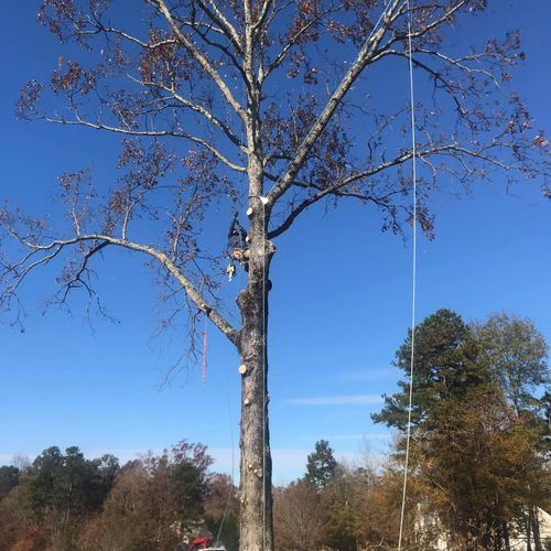 before dying Oak tree removal