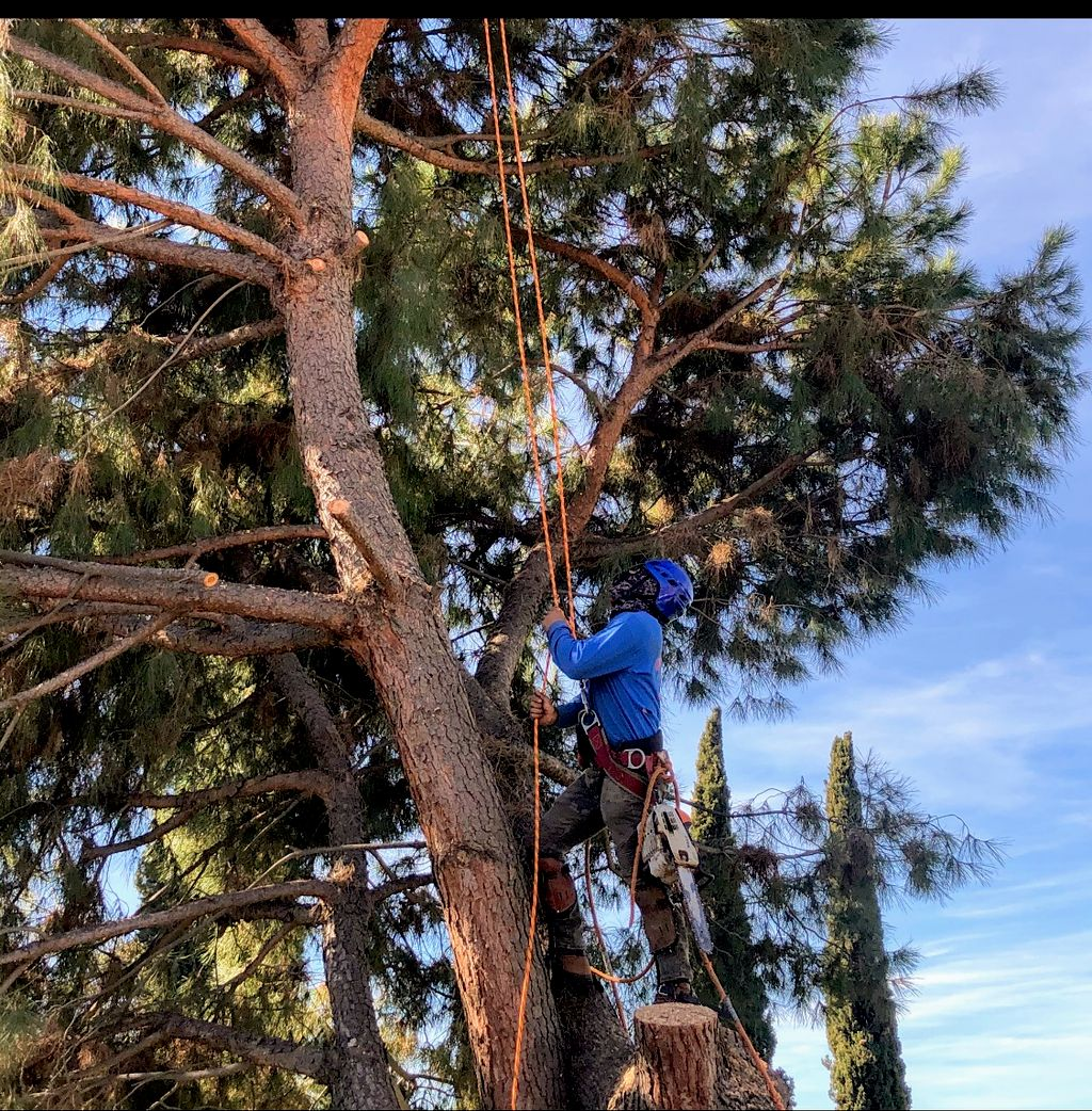 Removal of Pine tree
