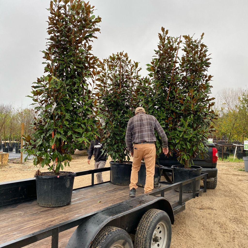 Southern Magnolia tree planting