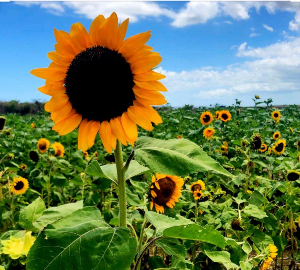 Sunflower clean  solution