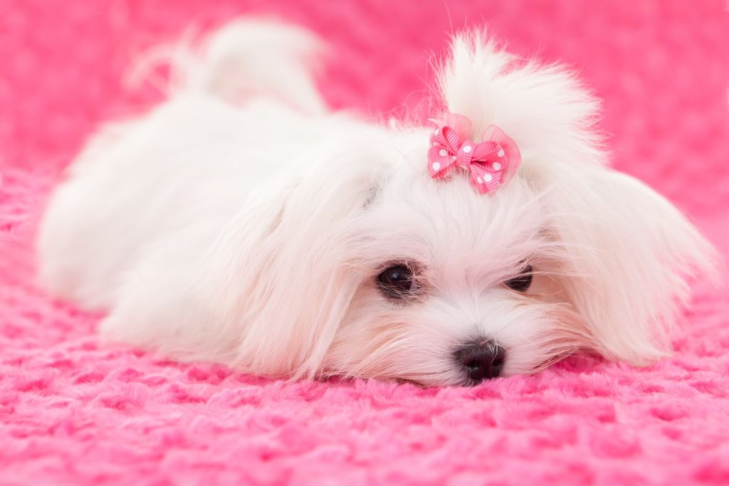 Lollipups In Home Pet Grooming