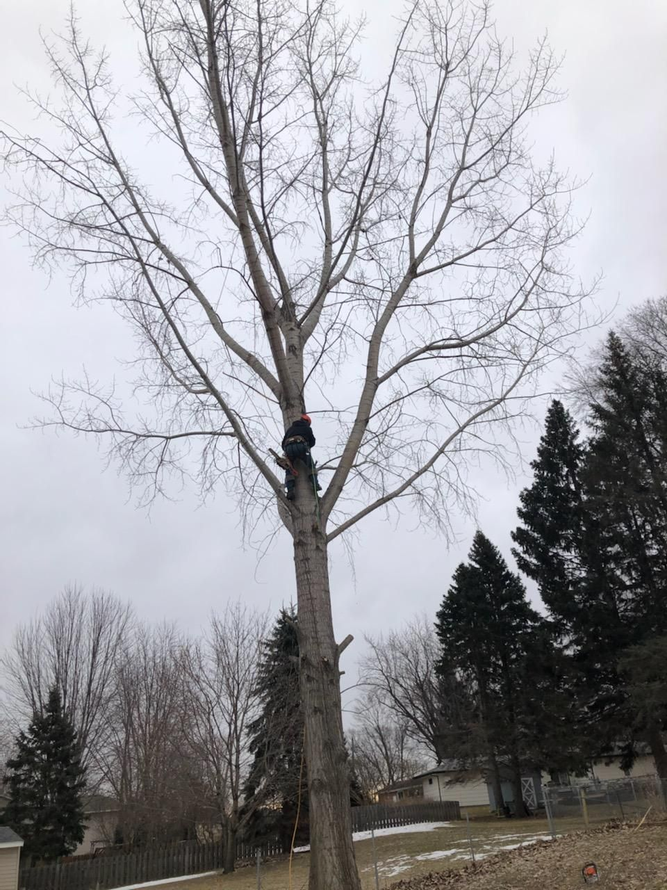 Removal of cottonwood
