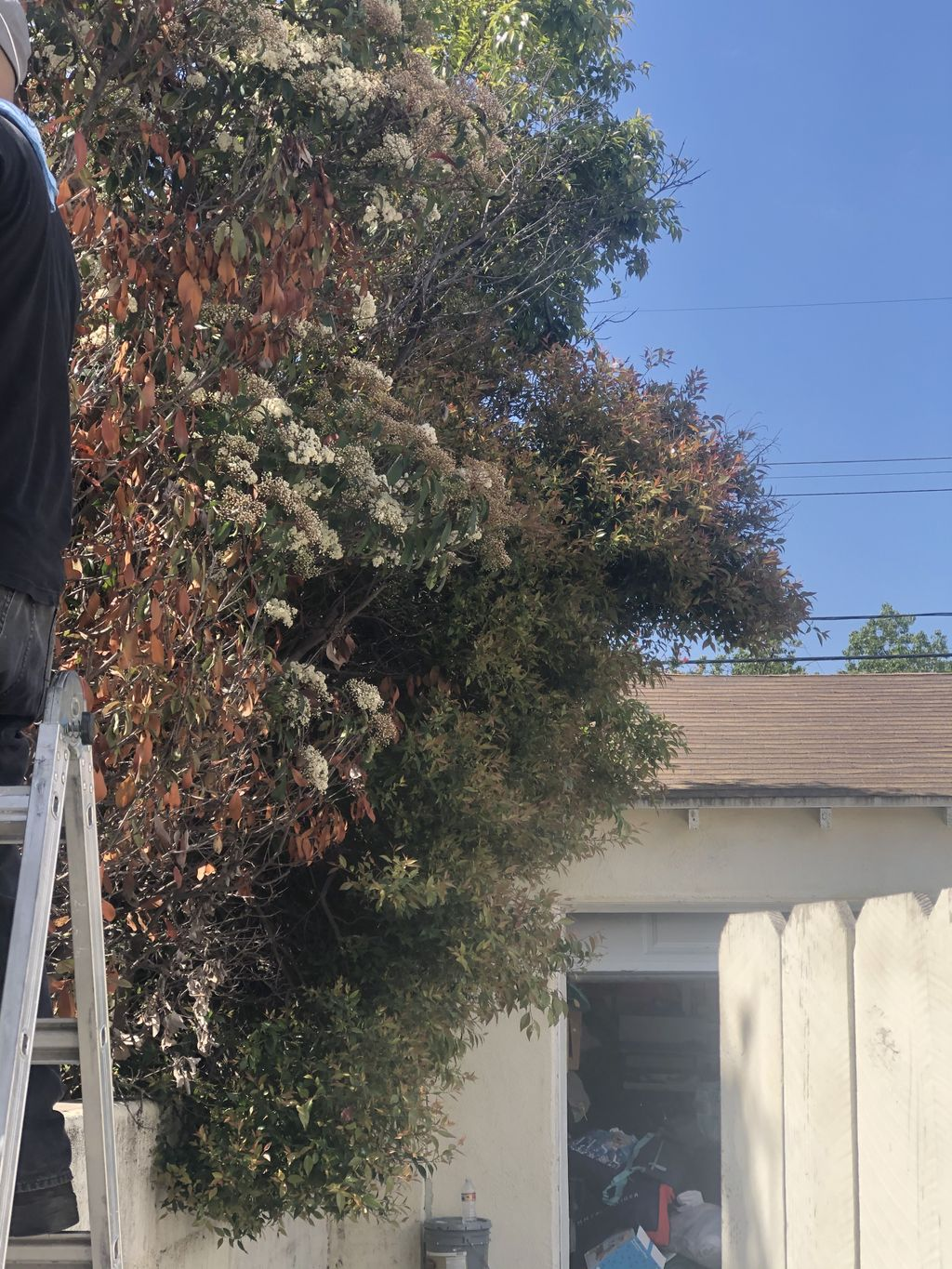 Trimming hedges back against wall