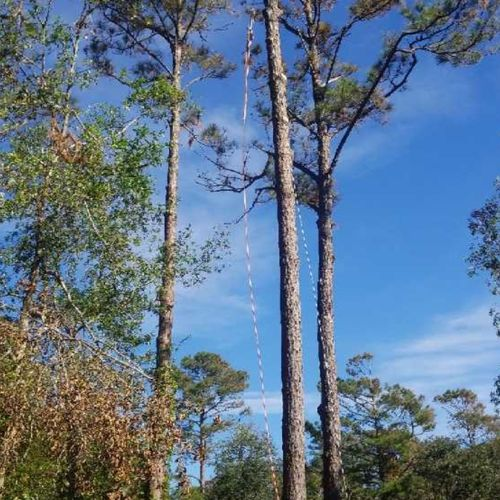 Removal of tall pine trees