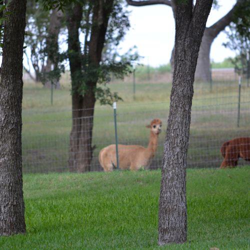Alpaca farm Blue Ridge, TX