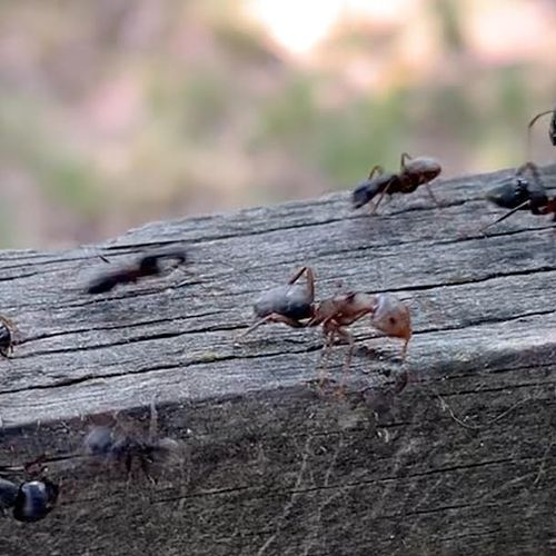 Carpenter Ants in Arlington VA