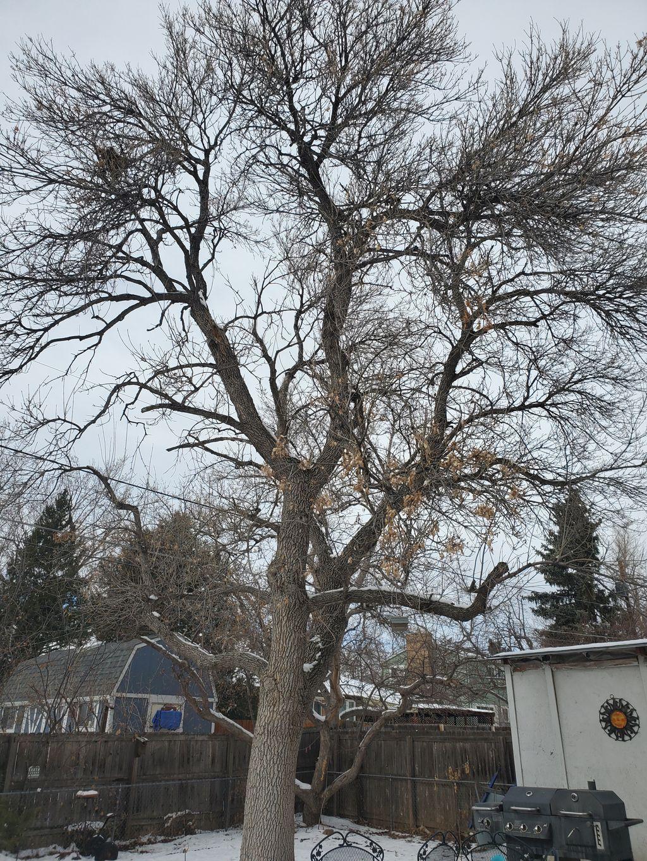 Ash tree prune