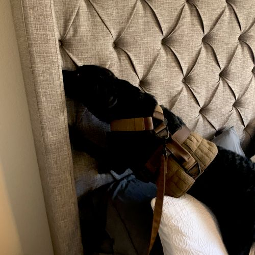 Our lead inspection K9 finding the source of live bed bugs in this headboard