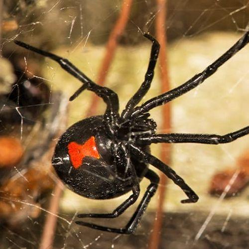 Black Widow Spider in Bethesda Maryland 20817
