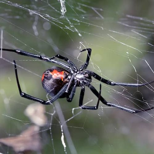 Black Widow Spider in Potomac Maryland 20854