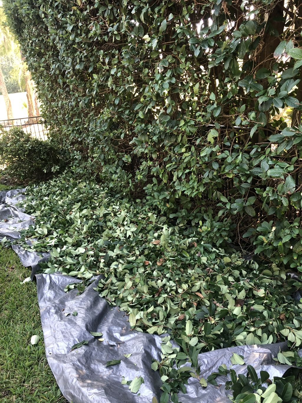 Hedges Trimmed and Topped Off