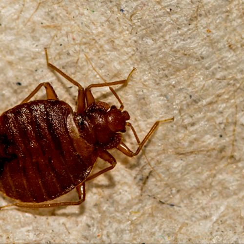 Bed Bug Services