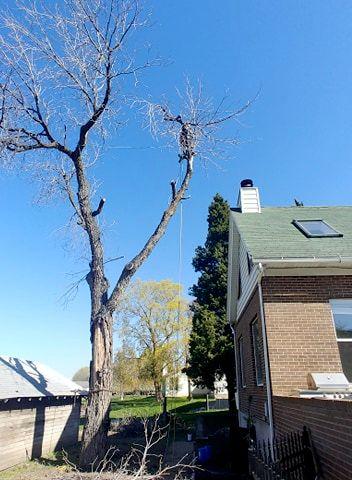 Dead Siberian Elm removal