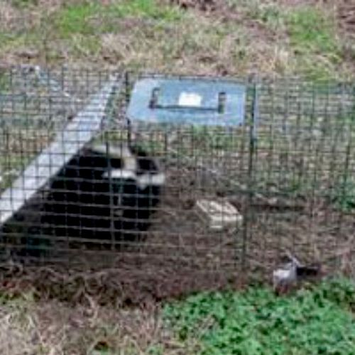 Skunk caught in trap two day sit