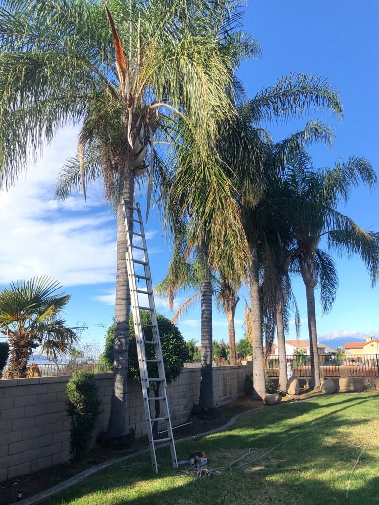 Palm trees trimmed