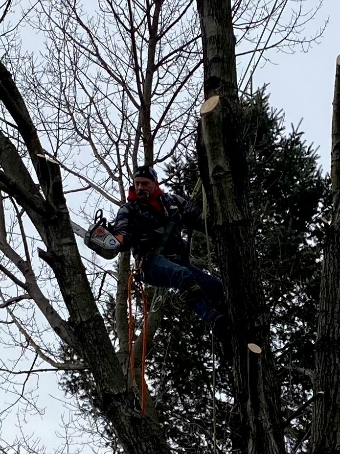 Tree Removal Maple