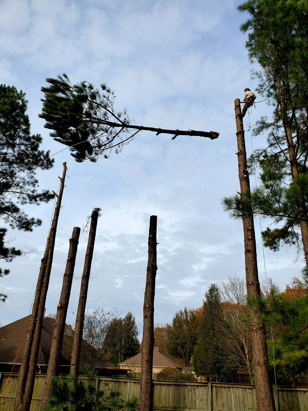 10 Pine Trees and 10 Stump Removal