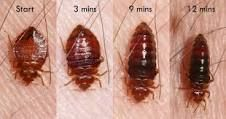 Bed Bug Feeding Stages