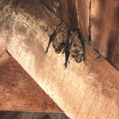 Bats found in an attic during an inspection.