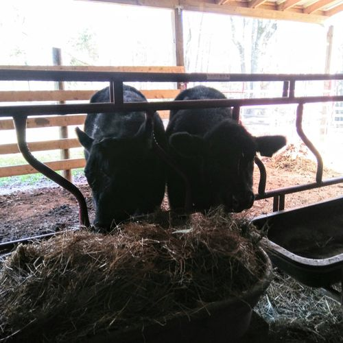 Meet Flank and Shank! After feed and corn they always have room for hay!