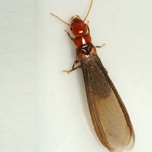 Drywood Termite Swarmer  (They are longer and have reddish brown heads compared to the subterranean termite swarmer)