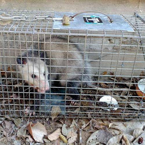 Captured Opossum