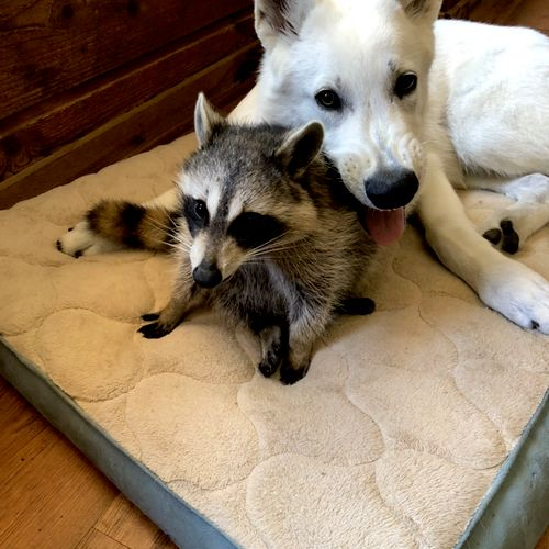 Our baby raccoon rescue with Knight