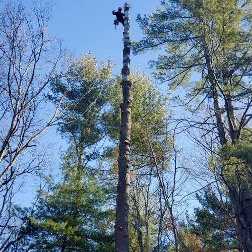 Take down 2 large white pine trees
