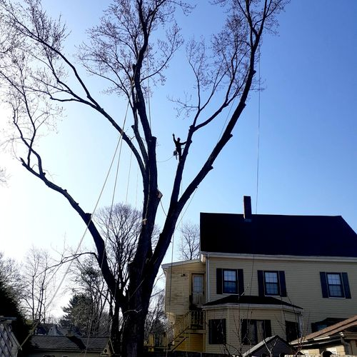 Take down large silver maple back house.