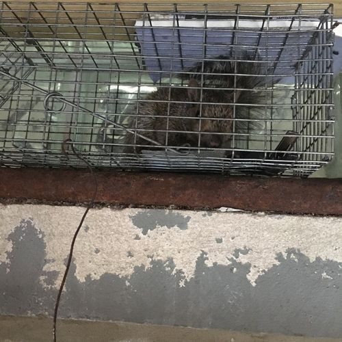 Young squirrel caught in trap and relocated