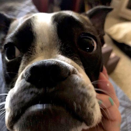"""SunnyRai"" Boston terrier I have been pet sitting since November 2020 till present"