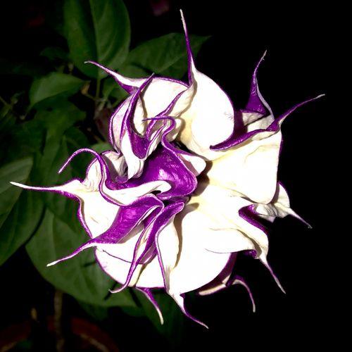 Rare purple moonflower
