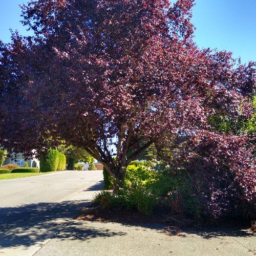 Flowering plum before