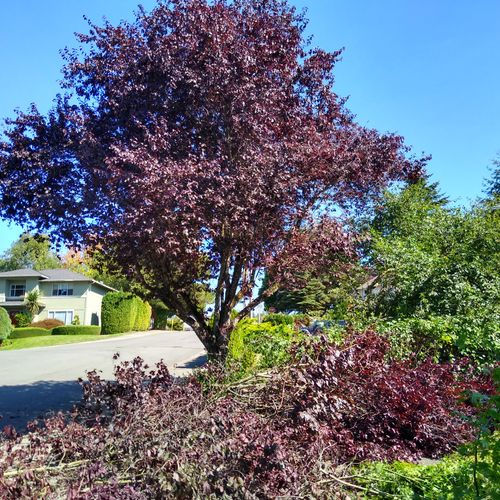 Flowering Plum after structural prune