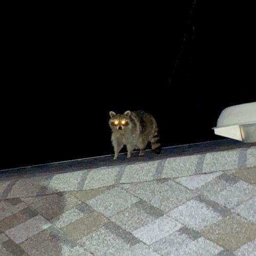 Mr. Raccoon got me off guard