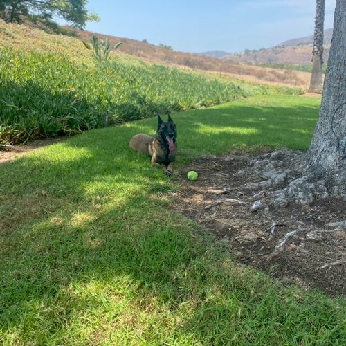 Monkii has an amazing off leash down command! 🤩