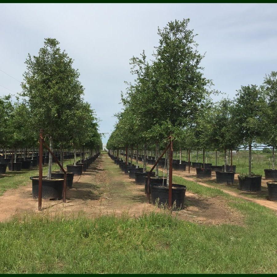 García Trees X Sales