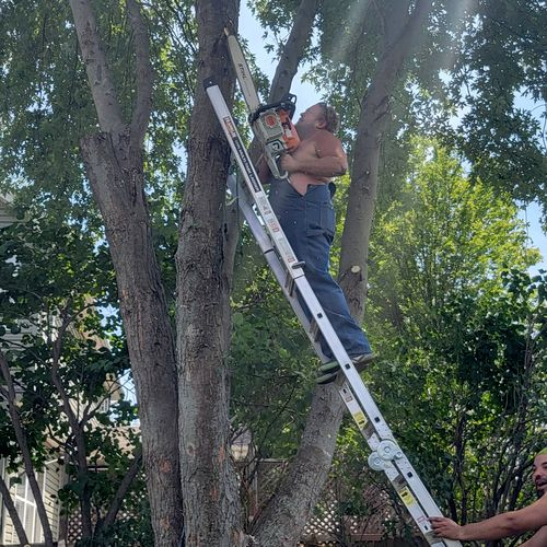 owner trimming down a tree