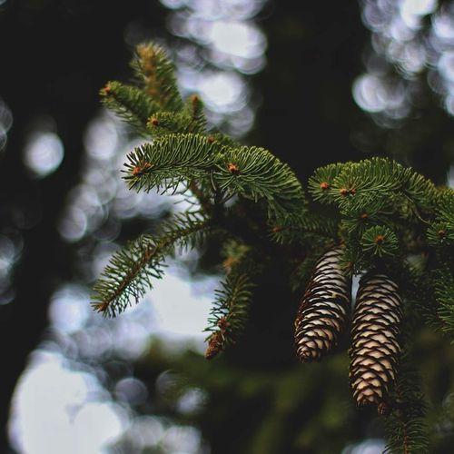 PMI Spruce Tree